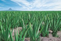 Aloecorp Aloe field 1 (640x429)